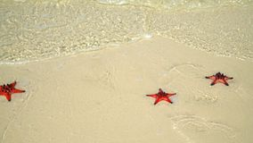Two big red sea stars lie at the ocean on white sand. Beautiful starfishes are washed by sea waves. closeup if a Red. On this video you can see as on the white stock video