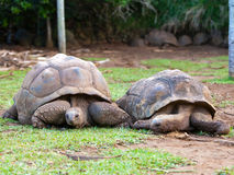 Two Big Seychelles turtles Royalty Free Stock Photography