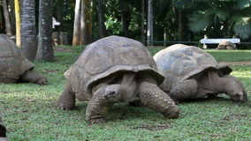 Two Big Seychelles turtles in park. Mauritius stock footage