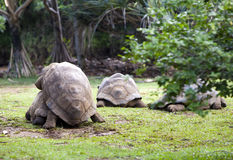 Two Big Seychelles turtles sympathizing each other. Mauritius Stock Photography