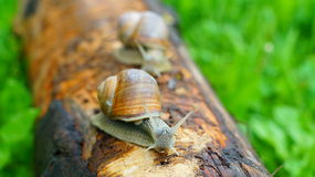 Two big snails Royalty Free Stock Photography