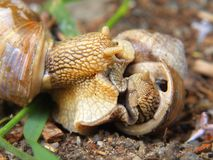 Two big snails have a sex. Very closeup view to snail sexual actions Stock Photography