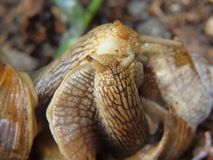 Two big snails have a sex. Very closeup view to snail sexual actions Royalty Free Stock Image