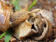 Two big snails have a sex. Very closeup view to snail sexual actions Royalty Free Stock Photography
