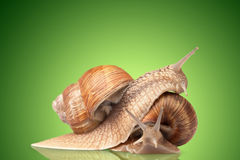 Two big snails posing Royalty Free Stock Photo