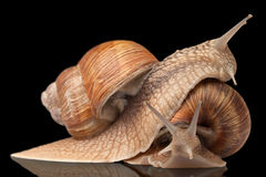 Two big snails posing Royalty Free Stock Images