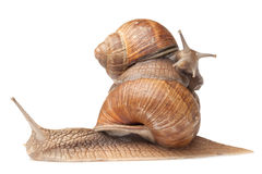 Two big snails posing Royalty Free Stock Photography