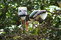 Two big stork sitting in a tree stock photos