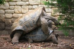 Tortoises are mating on ground. Two big tortoises are mating on ground royalty free stock images