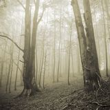 Two big trees and misty forest Stock Images