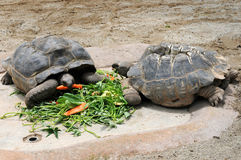 Two big turtle eating. Fresh vegetable stock images
