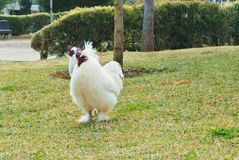 Two big white roosters chickens walking in the green dry g stock image
