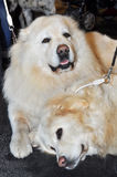 Two big white dogs. The Polish Tatra Sheepdog is a breed of dog introduced into the Tatra Mountains of Southern Poland by Vlachian (Romanian) shepherds. Tatras royalty free stock photos