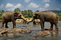 Two big wild elephants Royalty Free Stock Images