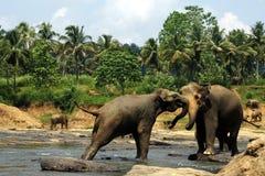 Two big wild indian elephants in tropic river. Two big wild indian elephants fighting in the tropic river in jungle, Sri Lanka Stock Photos
