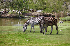 Two big zebra Royalty Free Stock Images