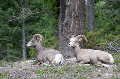 Two Bighorn Sheep Royalty Free Stock Image