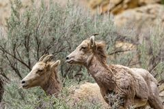 Two Bighorn Sheep Ewes in sage royalty free stock images
