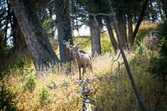 Two Bighorn Sheep Stock Photography