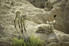 Two Bighorn Sheep Lambs. Two bighorn sheep on a mountain in Badlands National Park, South Dakota stock photography