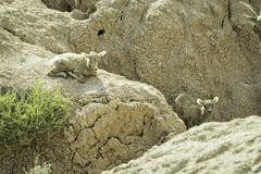 Two Bighorn Sheep Lambs. Two bighorn sheep on a mountain in Badlands National Park, South Dakota royalty free stock images
