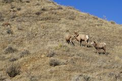 Two bighorn sheep rams start a fight over a ewe sheep watching. Sunny day in Montana stock photos