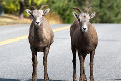 Two bighorn sheep on the road. Stock Photography