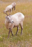 Two bighorn sheeps, ovis canadensis Royalty Free Stock Image
