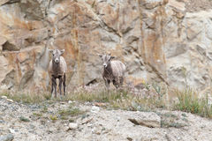 Two bighorn sheeps, ovis canadensis Royalty Free Stock Photography