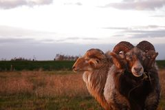 Two bighorned rams in a pasture. Two big horned rams in a pasture. Focus is on the front one looking at the viewer Stock Photo