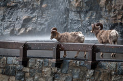 Two bighorns crossing the highway Royalty Free Stock Photo
