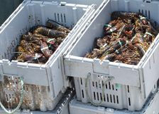 Two bins of freshly caught Maine lobsters. Two full bins of live Maine lobsters on a fishing boat ready to be sold at  market Royalty Free Stock Photography