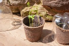 Seedlings and recycled plastic bottles close up. Two biodegradable pots of seedlings and homemade cloches made of recycled plastic bottles royalty free stock photos