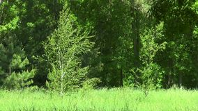 Two birch on the edge of the forest. Two little birch on the edge of the forest stock footage