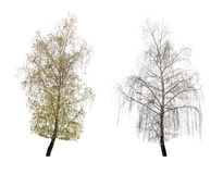 Two birch Royalty Free Stock Photos