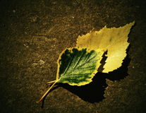 Two of birch leaves. Two of birch autumn leaves on a dark background Stock Photography