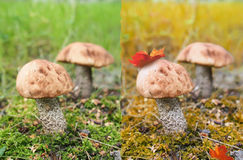 Two birch mushrooms. Royalty Free Stock Photos