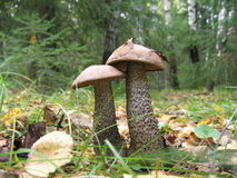Two Birch Mushrooms Royalty Free Stock Images