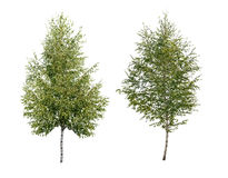 Two birch. Tree isolated. Close up Royalty Free Stock Photos