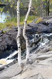 Two birch trees grow out of stone. Two birch trees grow next to the waterfall Royalty Free Stock Photo