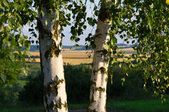 Two birch trees Stock Image