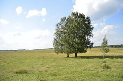 Two birch trees in an open field Stock Photos