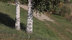 Two birch trees standing in a field. HD stock video footage