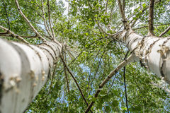 Two birch trees. Two birch tree upper view Royalty Free Stock Image