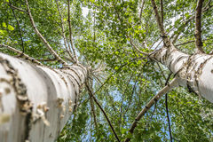 Two birch trees. Upper view Stock Image