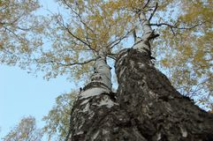 Two birch trees with yellow leaves bottom-up view stock photo