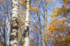 Two birch trunk in autumn forest. Sunny day in autumn forest Royalty Free Stock Images
