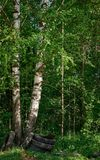 Two birch trunks close to each other in the forest with some tires underneath stock photos