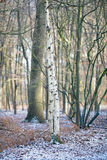 Two birch trunks in snowy winter forest. Two birch trunks in a snowy winter forest Royalty Free Stock Photography
