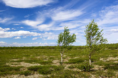 Two birch in tundra Stock Photography